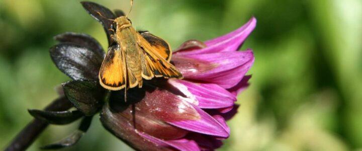 Moth Identification in Regent's Park